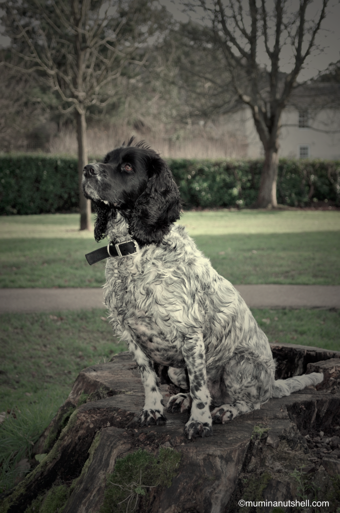 Spaniel looking for squirrels http://muminanutshell.com