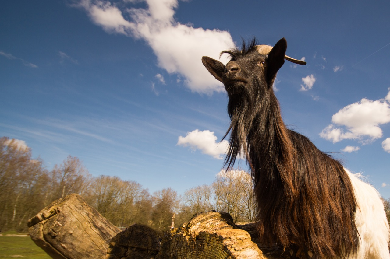 ever thought about giving a goat as a charity gift?